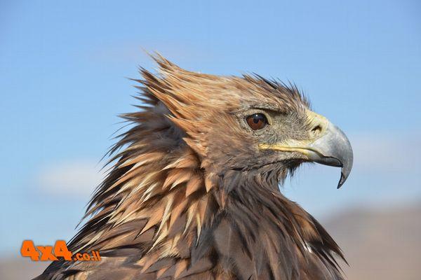 דורסים וציפורים במדבר גובי - צילם: פרופ' יוסף אבגיא