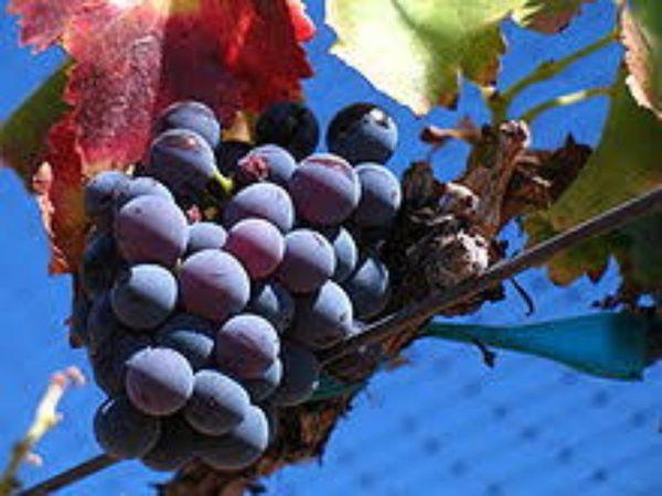 יינות רוזה צרפתים כשרים חדשים בחברת הכרם