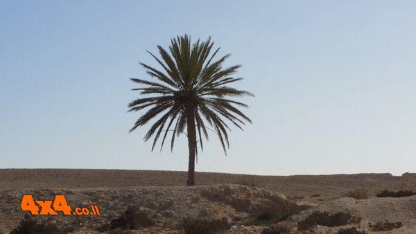 עץ השמש המיוחד בנגב המערבי