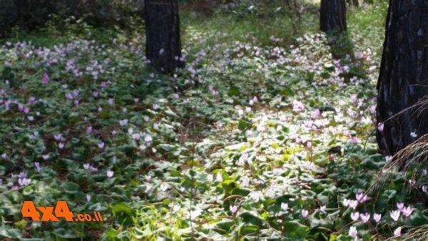 סיבוב קל ביער, מתרשמים מהרקפות