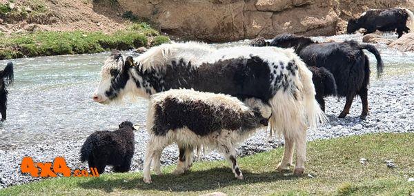 עדר יאקים שפגשנו בדרך