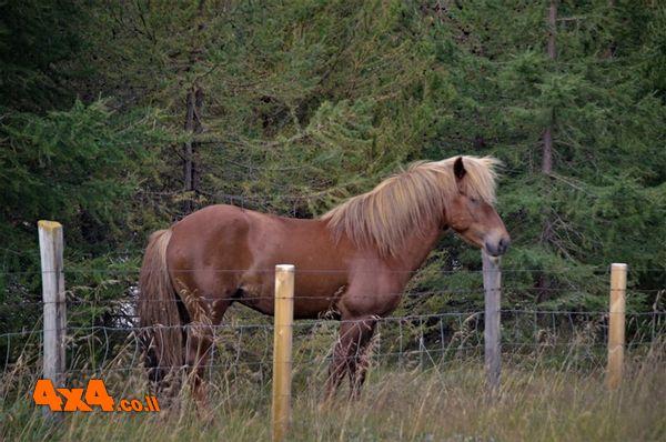 פגשנו מקרוב סוס איסלנדי