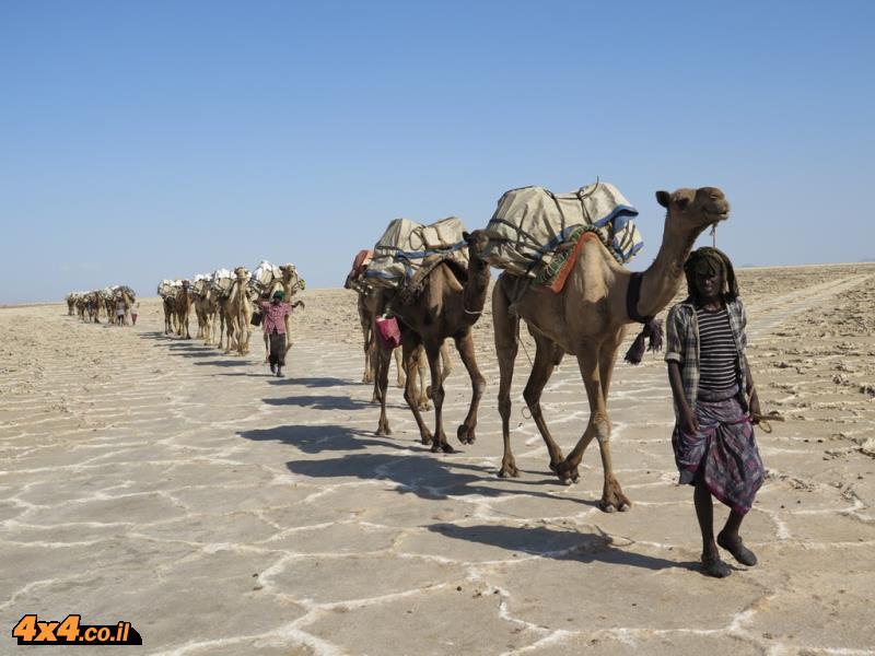 שיירות גמלים בדרך למדבר המלח