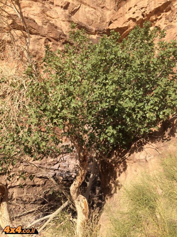 אחרי עץ הזית העתיק פגשנו בעץ התאנה
