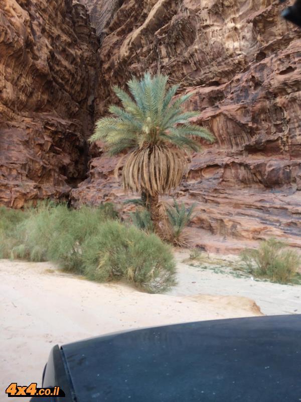 וכמובן התמרים שוכני נאות המדבר