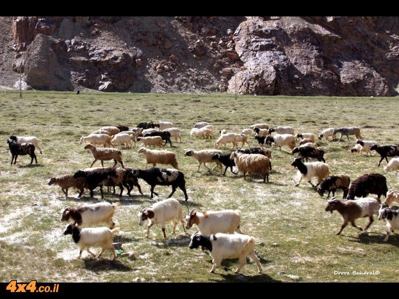 עדר עיזים וכבשים