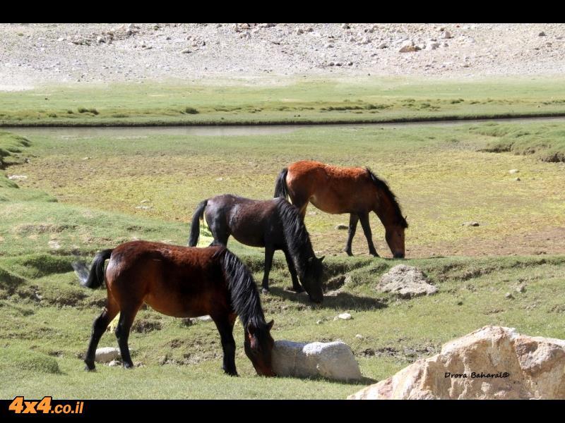 עדר סוסים