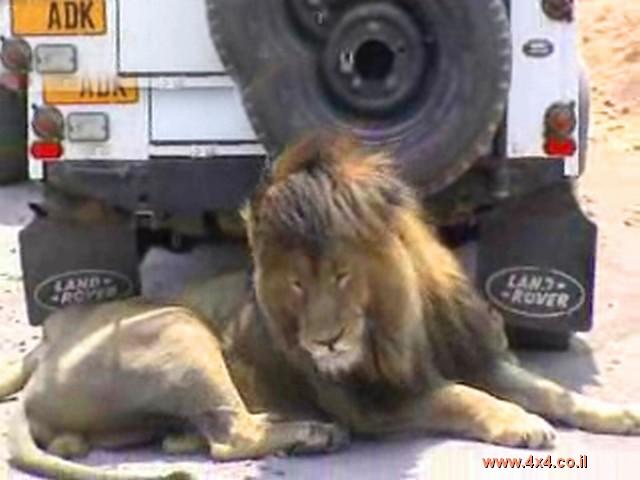 לרקוד עם נמרים .... ואריות גם