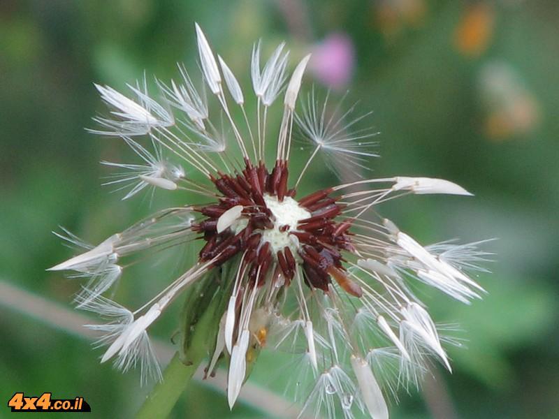 הפרחים של זאביק ויוון