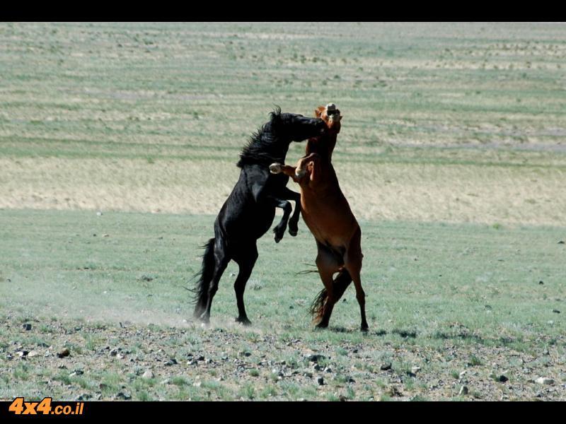 המון סוסים...