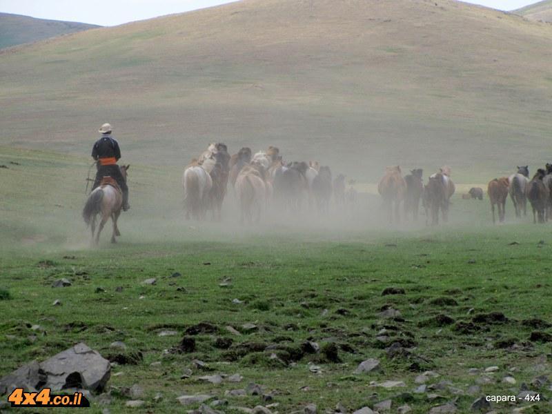 עדר סוסים מונגולי