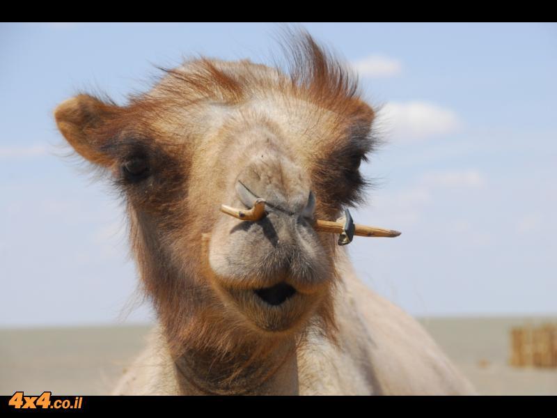 הגמלים של מונגוליה