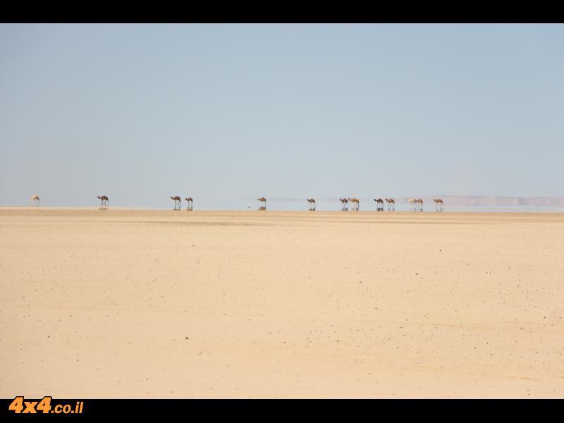 אורחות גמלים בקע ג'עפר