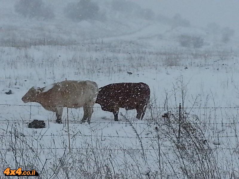 פרות קופאות מקור ליד רכס חזקה