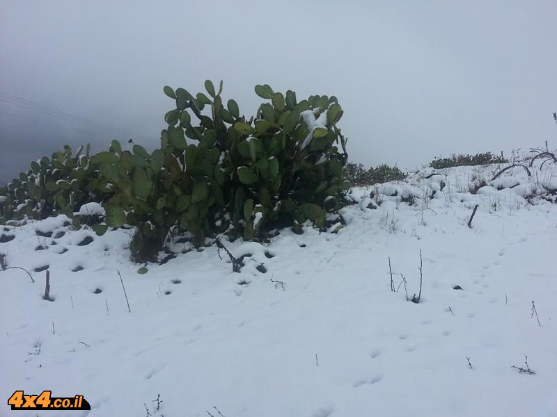 קקטוסים בשלג