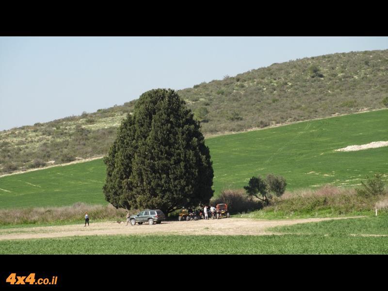 עץ הברוש המפורסם של רמות מנשה