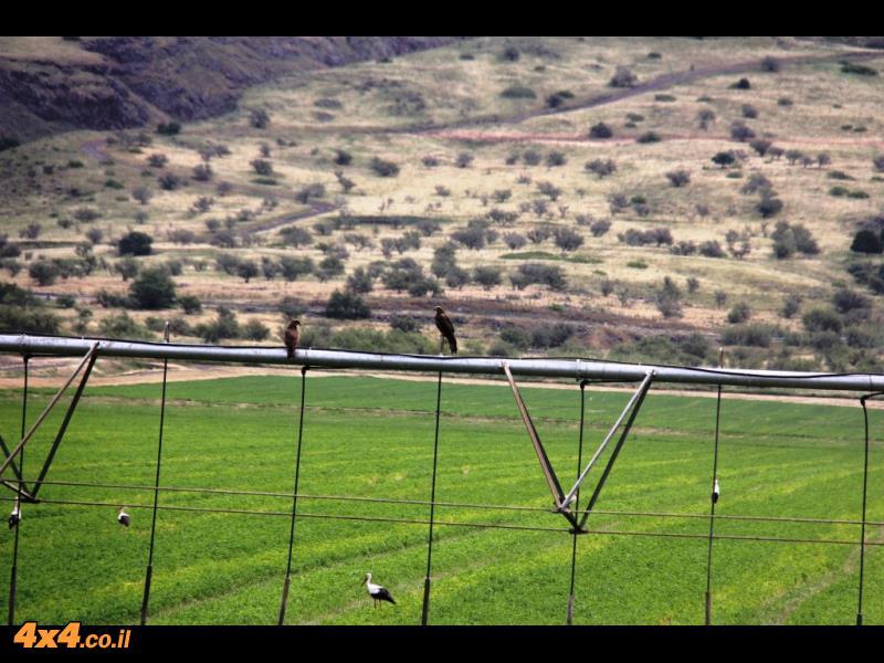 עופות דורסים עורבים לטרף - עמק החולה
