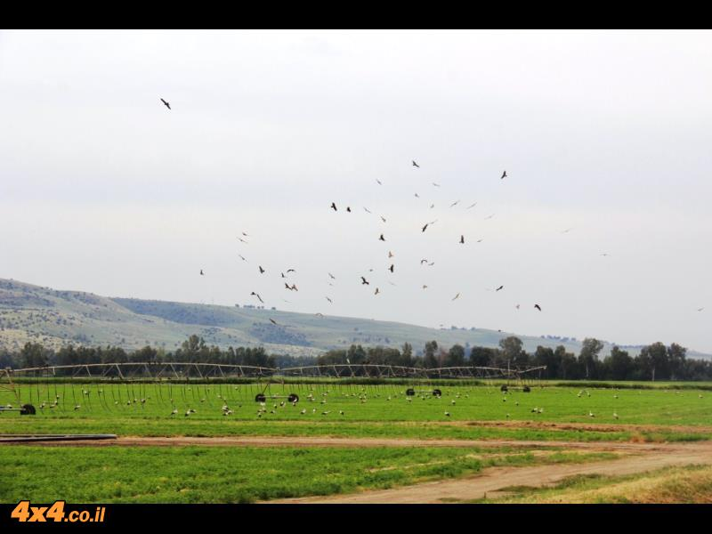 חסידות בעמק החולה מלקטות ולמעלה עופות דורסים ממתינים ללכוד טרף